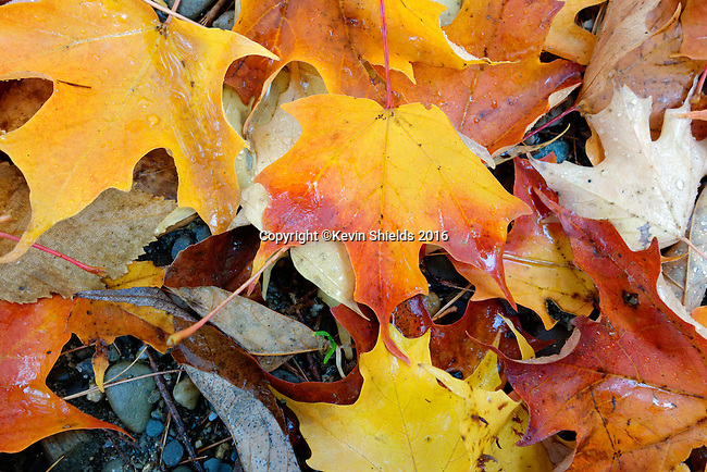 Fallen leaves at Camden Hills State Park, Maine, USA.