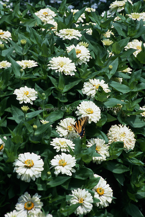 Zinnia Peter Pan White with swallowtail butterfly insect