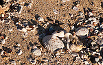On The Beach 03 - Shells washed up on Moses Rock Beach, Western Australia