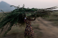 A woman carries bushes for the camels at Pushkar fair ground. Rajasthan, India.