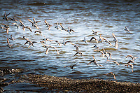In a furious flurry of wings, and without bumping into each other, Western sandpipers take flight, in unison, along the shores of Martin Luther King Jr. Regional Shoreline in Oakland, CA.