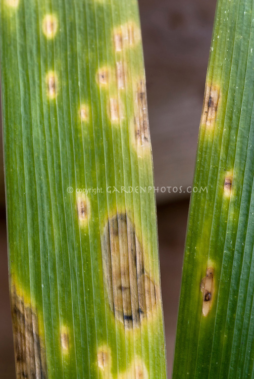 Iris rust disease spots on leaves of Iris foetidissima