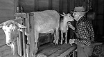 "December 1971:  Modesto, California—Dad Walkling— Dad nuzzles Brigette's kid at milking time.  I first met Orlando ""Dad"" Walkling at his house in the airport district of Modesto just before his 104th birthday.  Walkling was born in Indian Territory January 2, 1868, near a town now called McAlester, Oklahoma.  His mother was Shawnee and his father, whom he didn't remember, was an Englishman named Orlando.  He later used the name Walkling instead of his Indian name of Skipocase.  On September 16, 1893, Skipocase O. Walkling, then 25 years old, was among thousands of settlers who rode into the Cherokee Strip Land Run of Oklahoma to make a free land claim.  Walkling told of how he rode into the 226-mile long ""Strip"" to claim 160 acres.  ""There were thousands of men who waited at the line until noon that day.  The army gun was fired and chaos broke out. Every man carried a gun. There was no law, no sheriff, nothing.  People had to fight for their claim even though they were first.""  Walkling made a claim, but later gave it up when he had a chance to farm a piece of land in Noble County, Oklahoma.  He cleared the land with six yoke of oxen and planted peach orchards.  He and his first wife ran a combination grocery store and hotel there.  He had nearly 1,000 trees and began a cannery to process the crops.  ""One day when the train came in a woman dressed like a Salvation Army woman handed me a bundle as I stood on the ramp, then she jumped back into the train.  I opened it and there was a pair of twins, a boy and a girl,"" Walkling said.  He and his wife did not have children, so they adopted the twins legally and raised them.  He said they raised six others but did not adopt them.  He came to Modesto in 1944 at 76 years of age and went to work for a meat firm before he opened a poultry store.  After that store closed, he made bullwhips and wove rope for truckers at his home.  In 1968, Dad Walking, then 100 years old, visited Oklahoma for the 75th anniversary of t"