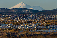 Mount Shasta with snow geese (rising off pond), white-fronted geese and ducks in wetland pond during late winter/early spring migration.  Lower Klamath National Wildlife Refuge, California-Oregon border.  Early morning.