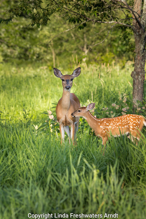 White-tailed doe and fawn in a summer field