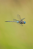 Blue-eyed Darner dragonfly (Aeshna multicolor) male.  Pacific Northwest.  Summer.  Flying over small stream in grassy field.