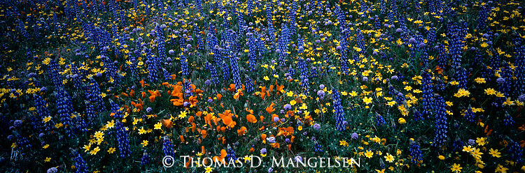 California poppies and other wildflowers bloom on a hillside in the Tehachapi Mountains of California.