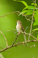 Field Sparrow, Spizella pusilla, singing; Indiana