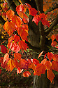 Autumn foliage of Japanese red maple (Acer pycnanthum), early November.