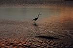 Yala National Park Sri Lanka<br /> Grey Heron and Crocodile