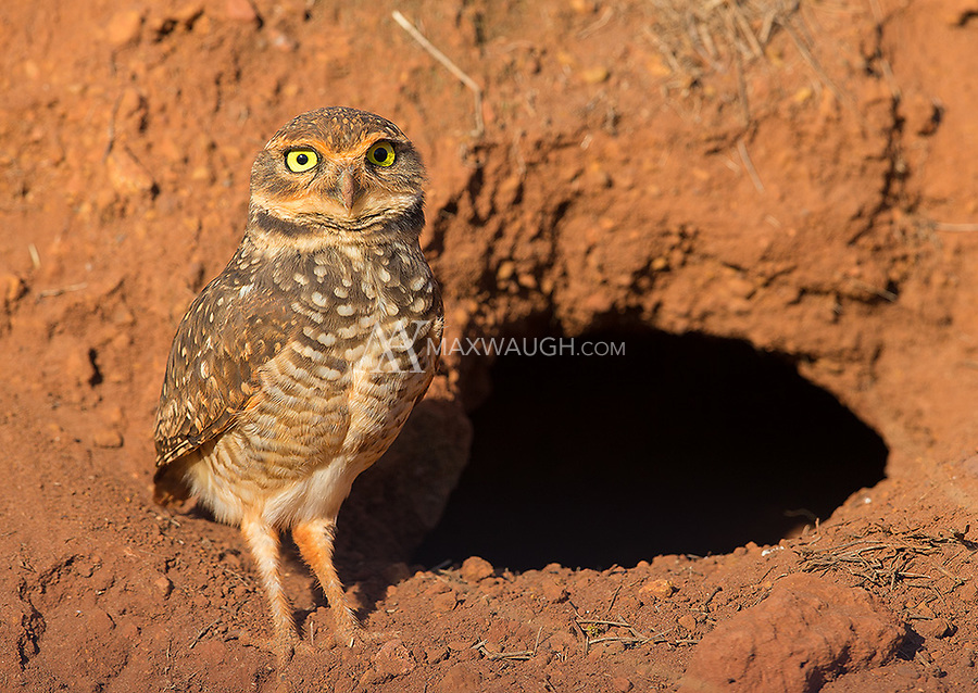 Burrowing owls were a common sight in Emas National Park.