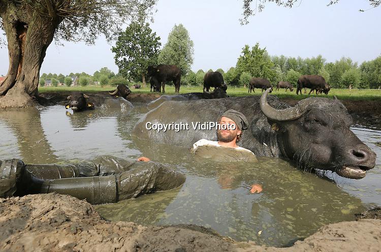 """Foto: VidiPhoto<br /> <br /> SON EN BREUGEL - Buffelboer Arjan Swinkels uit het Brabantse Son en Breugel kruipt woensdag met zijn kleren aan in de moddervijver bij zijn waterbuffels. Daar heeft hij een goede reden voor. Op deze wijze probeert de eigenaar van De Stoerderij een vertrouwensband op te bouwen met zijn 35 waterkoeien. Hoewel waterbuffels van zichzelf al zeer sociaal en vriendelijk zijn, gedragen ze zich vaak wat ongedurig tijdens het melken. Bij mooi weer kruipt Swinkels daarom regelmatig met de dieren in de poel voor een knuffelsessie, zodat de buffels met socialiseren. De meeste van de slechts tien buffelboeren in Nederland houden hun dieren binnen. De waterbuffels van de Brabantse veehouder lopen vrijwel alleen buiten. Alleen tijdens het melken komen ze naar binnen. Voor de waterbuffels is een modderbad zeer gezond vanwege de mineralen in de klei, maar ook omdat hinderlijke insecten niet door de modder heen kunnen steken als ze opgedroogd zijn. Naast natuurlijk verkoeling tijdens het warme weer. Swinkels is de enige buffelboer in Nederland die op deze amicale met zijn beesten omgaat. """"Ik doe het ook voor mijn lol natuurlijk, maar de buffels genieten er ook zichtbaar van om met hun baas in bad te gaan."""" Van de melk van de Brabantse buffels wordt yoghurt, ijs en panier (vleesvervanger) gemaakt."""