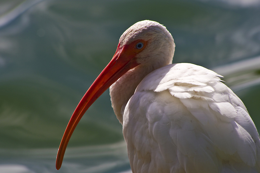 White ibis, Morton Lake, Lakeland, Florida