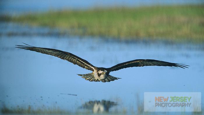 Osprey, in flight over a tidal salt marsh, Avalon, New Jersey
