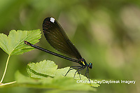 06014-00317 Ebony Jewelwing (Calopteryx maculata) female Washington Co. MO