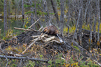 North American Beaver (Castor canadensis) working on lodge--sealing with mud.  Beaver lodges are covered with mud over tree branches to help seal out winter cold also adds protection from predators.  British Columbia, Canada.  Fall.