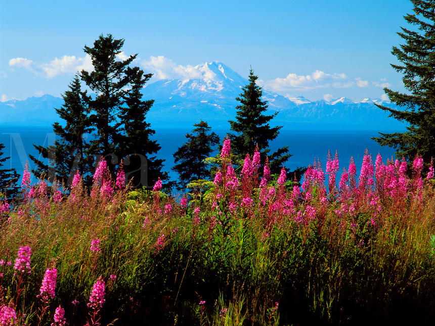 Art in Nature 9607-0179 - Mount Redoubt, across the Cook Inlet of southern Alaska, rises majestically above stately evergreens and a foreground of fireweed in mid-summer. Northern Rocky Mountains, Ninilchik, Alaska.