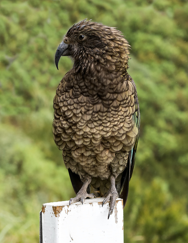 A kea seen near the entrance to the Homer Tunnel on the Milford South Highway, South Island, New Zealand. A kea is a large variety of parrot that is native to the South Island.
