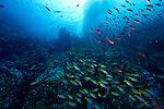 The bluestripe snapper, Lutjanus kasmira, (also known as the bluestripe sea perch or the blue-line snapper) is a common species of marine fish of the snapper.