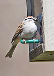 Chipping sparrow at bird feeder