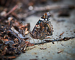 Red Admiral Butterfly. Image taken with a Nikon Df camera and 300 mm f/4 lens