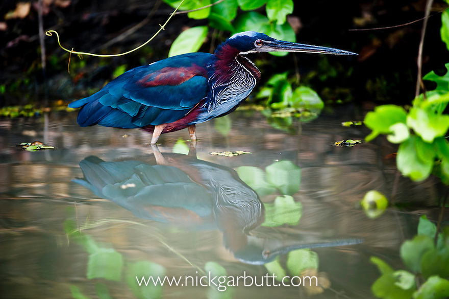 Agami or Chestnut-bellied Heron (Agamia agami) stalking the margins of the Pixiam River, northern Pantanal, Brazil.