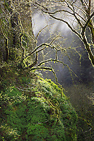 Moss covered big leaf maples in Columbia River Gorge National Scenic Area. Oregon