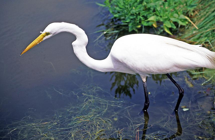 Great egret fishing, Chincoteague National Wildlife Refuge, Virginia