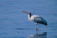 579993025 a wild wood stork mycteria americana stands in a shallow estuary on sanibel island in south florida