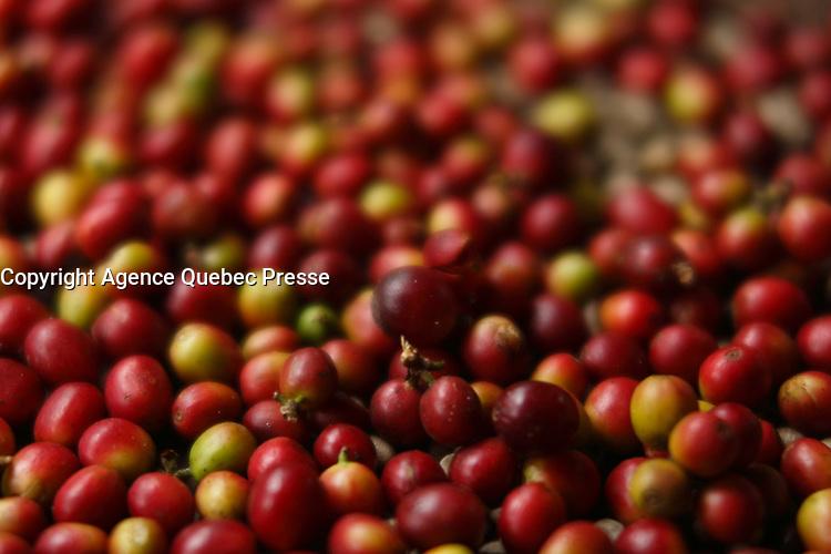 Doi Inthanon National Park, coffee beans