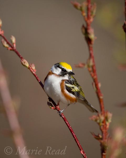 Chestnut-sided Warbler (Dendroica pensylvanica) male, New York, USA