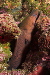 Russell Islands, Solomon Islands; a Giant Moray Eel poking its head out of a hole in the colorful reef