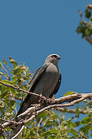 Mississippi Kite, Texas Highway 70 near Roaring Springs, TX