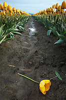 A yellow tulip blossom fallen onto mud between rows of growing tulips, Mount Vernon, Skagit Valley, Skagit County, Washington, USA