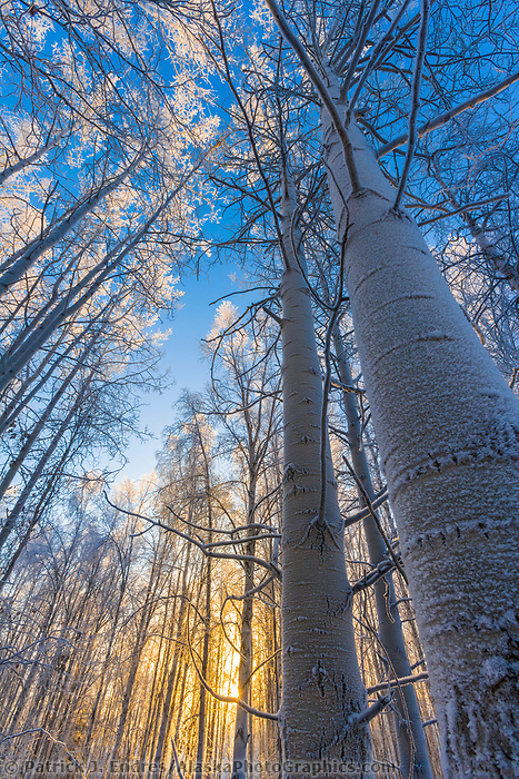 Frost on a grove of quaking aspen trees, winter boreal forest, Fairbanks, Alaska