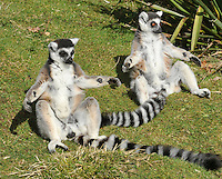 Whipsnade, UK. Lemurs Billy and Taffy celebrate their 25th birthday at Whipsnade Zoo, Bedfordshire. The pair are believed to be the oldest living Ring Tailed Lemurs in captivity<br />
