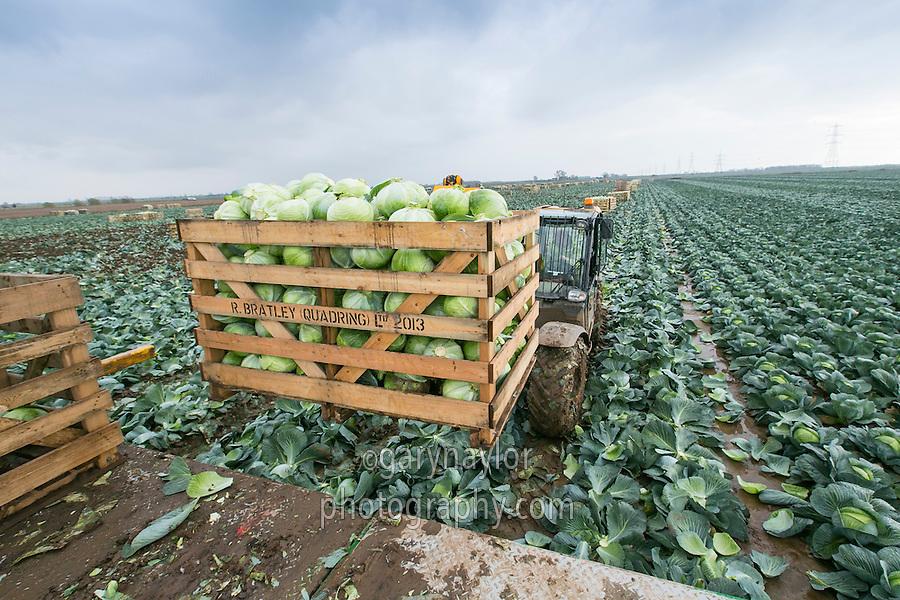 JCB lifting a full box of Dutch White Cabbahe off the VHS harvester - Lincolnshire, November