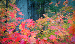 Autumn colors in the Wenatchee National Forest in the Cascade range of Western Washington.