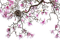 Looking up at bird nest in flowering Dawson's magnolia (Magnolia dawsoniana), deciduous tree, silhouette against sky