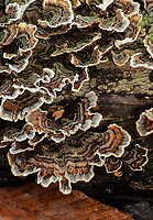 Turkey Tail shelf fungus grows on a decaying log in the forest, Warren Woods State Park, Berrien County, Michigan