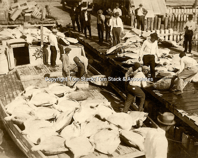 Photo of unloading turtles at the Key West Bight used in the 1924 WPA Guide Book for Key West. <br /> Heritage House Collection,Campbell, Poirier and Pound.