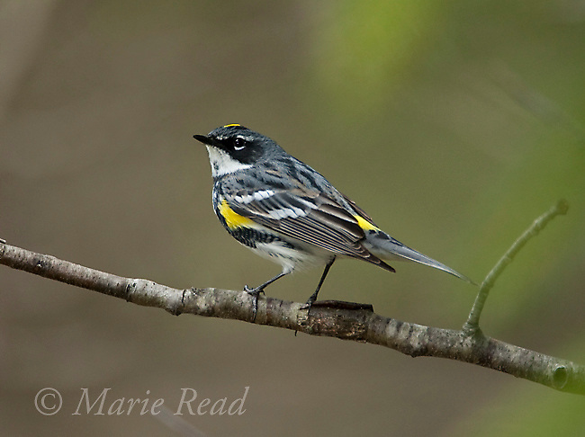Yellow-rumped Warbler (Dendroica coronata), eastern &quot;Myrtle&quot; race, male in breeding plumage, New York, USA<br />
