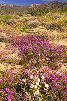 Sand Verbena (Abronia villosa) and Dune Evening Primrose (Oenothera deltoides) on sand dunes near Arroyo Salado, in Anza-Borrego Desert State Park, California
