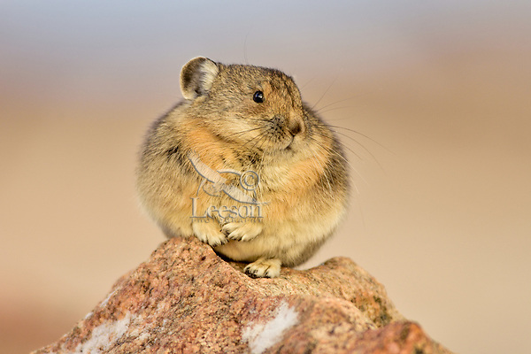 American pika (Ochotona princeps).  Beartooth Mountains, Wyoming/Montana border.  September, with a little skiff of snow on the rock.  This photo was taken in alpine setting at around 11,000 feet (3350 meters) elevation.