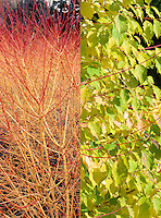 Cornus sanguinea Winter Beauty in 2 stages, seasons times phases, colorful winter stems of red and orange and summer foliage, composite picture