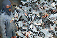 Environment -  ilegal Shark Fining unloading massive Shark Fins, Indonesia