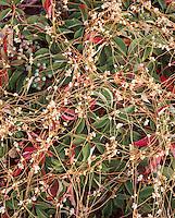 marsh vines detail, Hummarock, MA