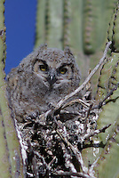 Young Great Horned Owl (Bubo virginianus) in the nest, in a Saguaro Cactus on a spring day, in southern Arizona's Saguaro National Park.