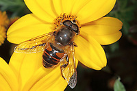 Große Bienenschwebfliege, Bienen-Schwebfliege, Mistbiene, Schlammfliege, Blütenbesuch, Eristalis tenax, drone fly