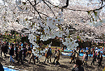 April 6, 2012, Tokyo, Japan - Thousands of party-goers admire cherry blossoms at Tokyos Ueno Park on Friday, April 6, 2012. It's springtime in Tokyo and time to stop and appreciate fragile pale pink blossoms in full bloom all over the nation's capital. Last year, Japan's most popular national passtime was somewhat muted due to the March 11 earthquake and tsunami. But this year, the centuries-old tradition has come back with revelers eager to use the occasion as a way to break from a year marked by the crisis and disaster. (Photo by Natsuki Sakai/AFLO) AYF -mis-